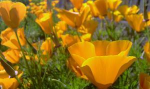california poppy, Everything She Touches, DanyailPhotography