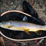 Brown Trout Spearfish Creek