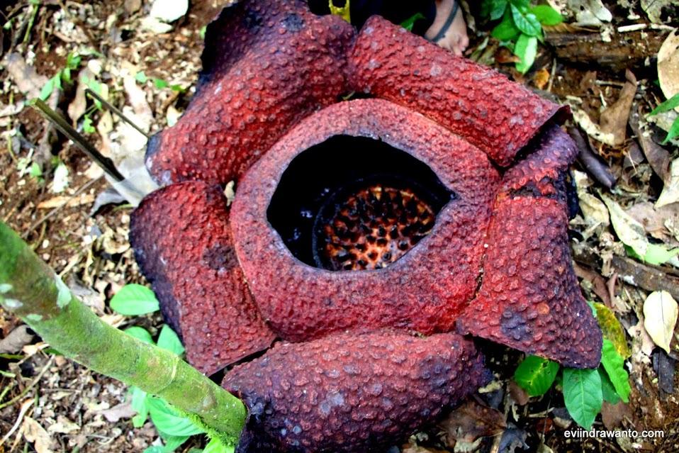 Rafflesia Arnoldii yang sedang mekar di Taman Nasional Bukit Barisan Selatan (TNBBS)