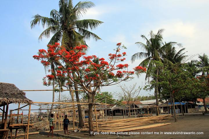 Flamboyant yang sedang berbunga di Pantai Tajung Kait