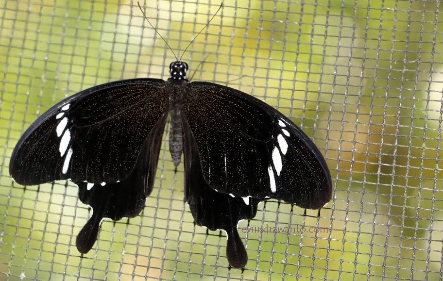 Penangkaran di taman kupu-kupu gita persada