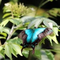 Papilio Peranthus atau kupu-kupu hijau biru