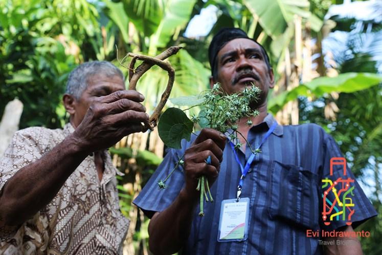 Pengawet nira alami yang digunakan di Jambi dengan nama lokal: Akar Manggul dan Buah Sapat