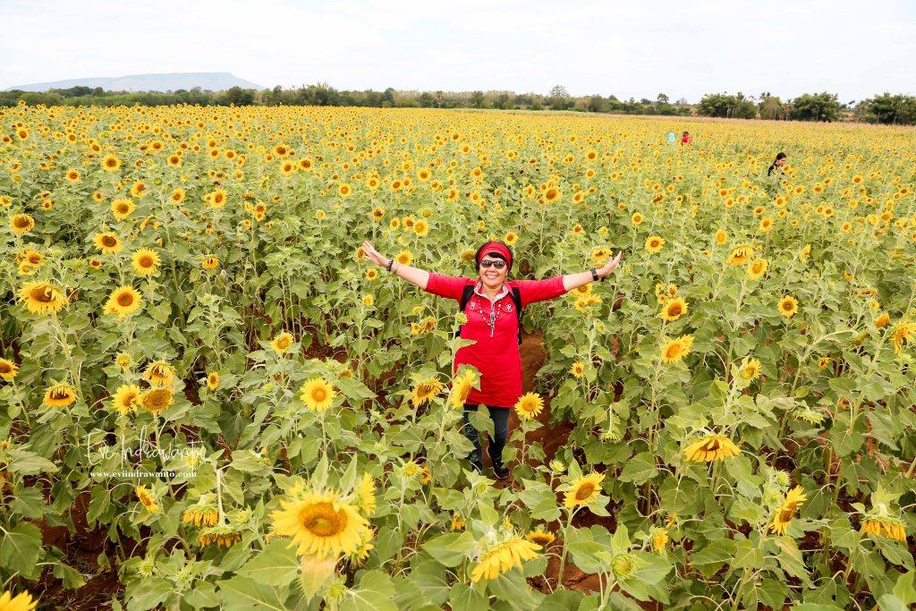 Kebun bunga matahari Thailand