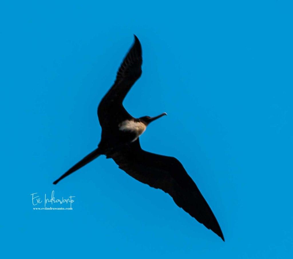 Burung camar di Banda Neira