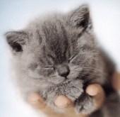 Blauw kitten gescand