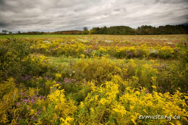 images of fallow field with goldenrod and purple aster