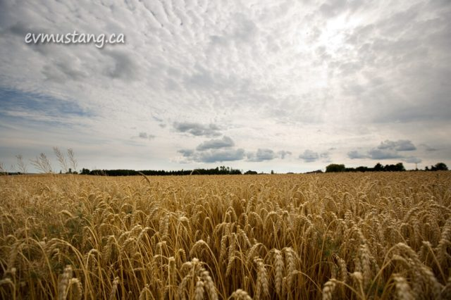 image of wheat under a partly cloudy sky