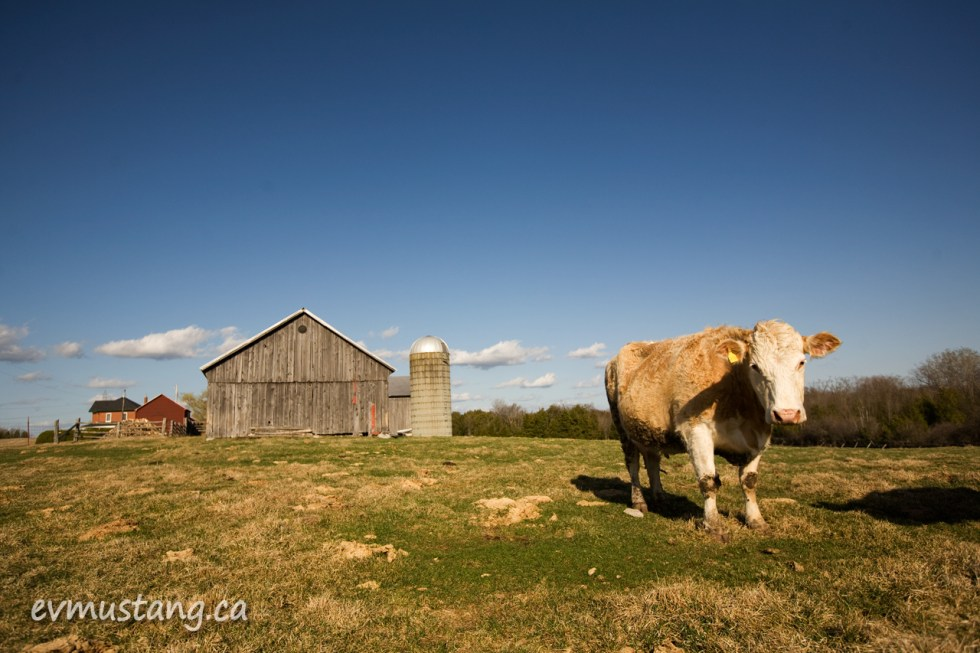image of a cow in a field in front of a barn