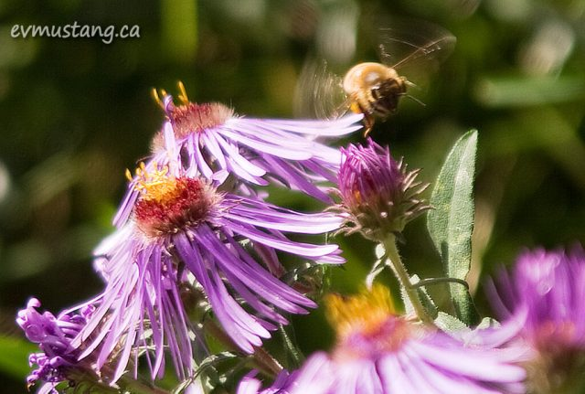 image of bee flying past aster flower