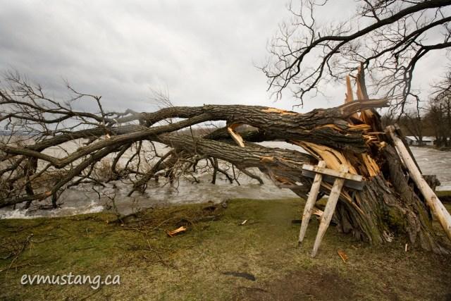 image of ice storm damaged tree at rice lake
