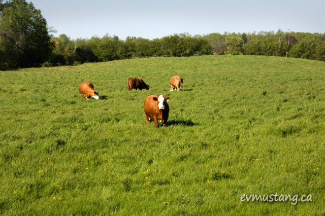image of cows in lush field