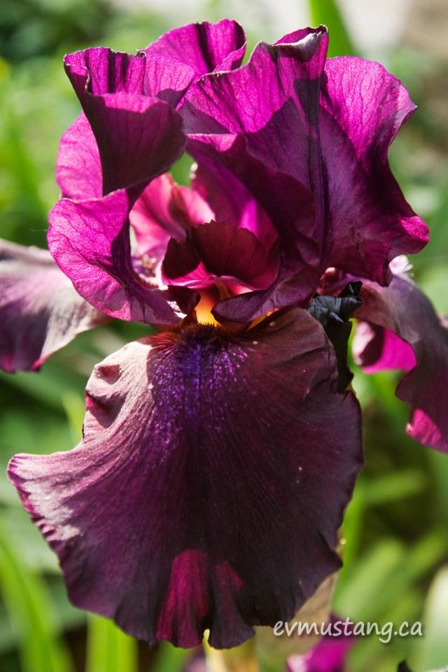 close up image of iris