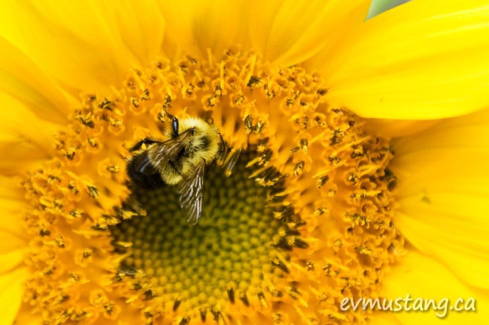 image of bee on sunflower