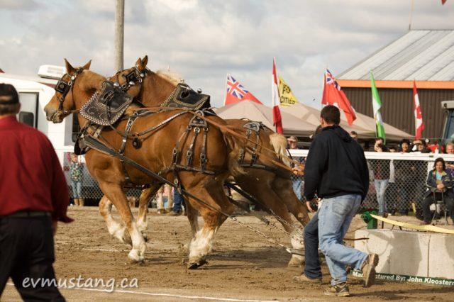 image of heavy horse draw, Norwood Fair