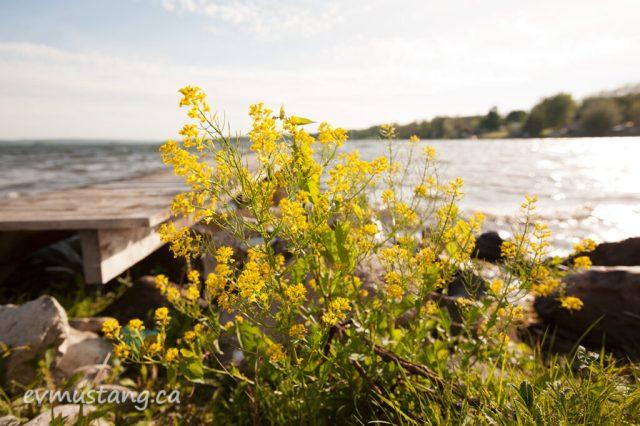 image of wild flower next to dock on rice lake ontario
