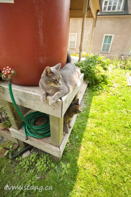 image of cats on porch and rain barrel