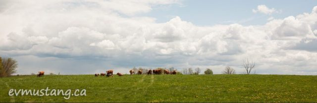 image of brown cows atop a green sprill hill under bright white clouds