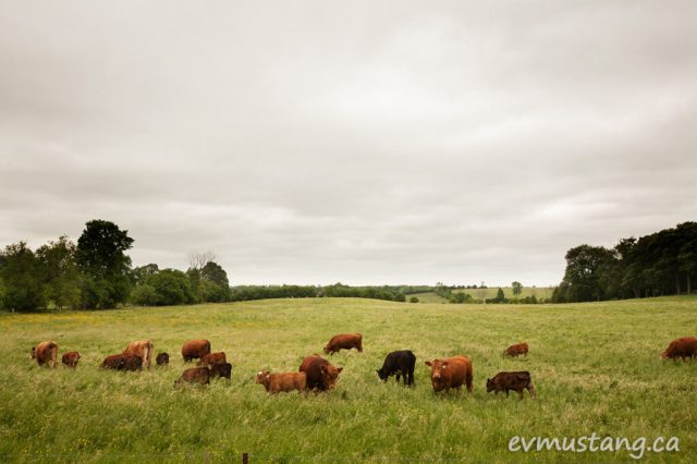 image of beef cattle in a green spring field under a marbled grey sky before the rain