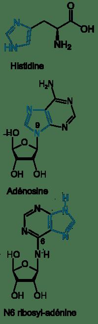 Histidine, Adénosine et N6 ribosyl-adénine,