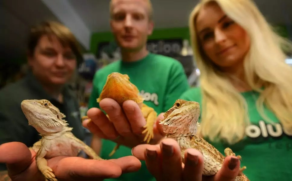 bearded_dragons063a