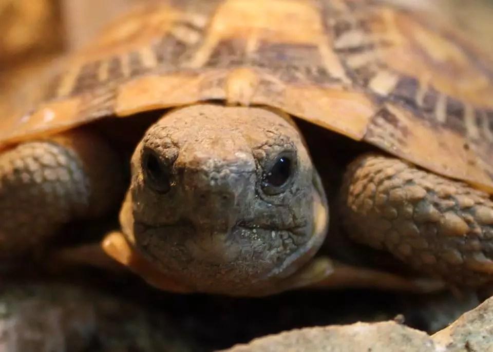 Pancake Tortoises - Malacochersus tornieri