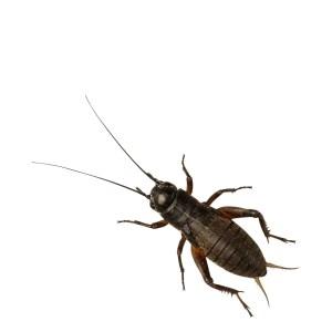 Black Crickets - Medium Small
