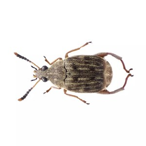 Bean Weevil Culture