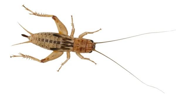 Silent Crickets - Medium