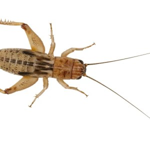Silent Crickets - Medium Small