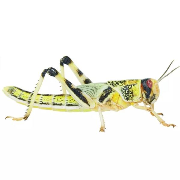 Locust - Medium