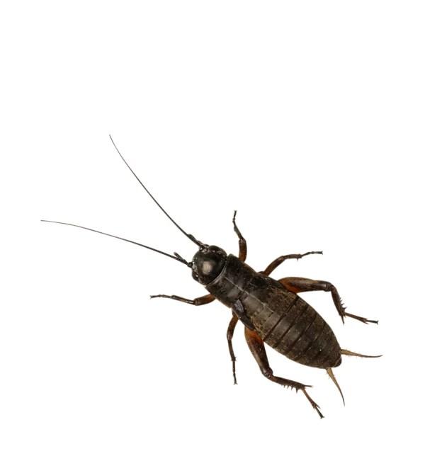 Black Crickets - Micro