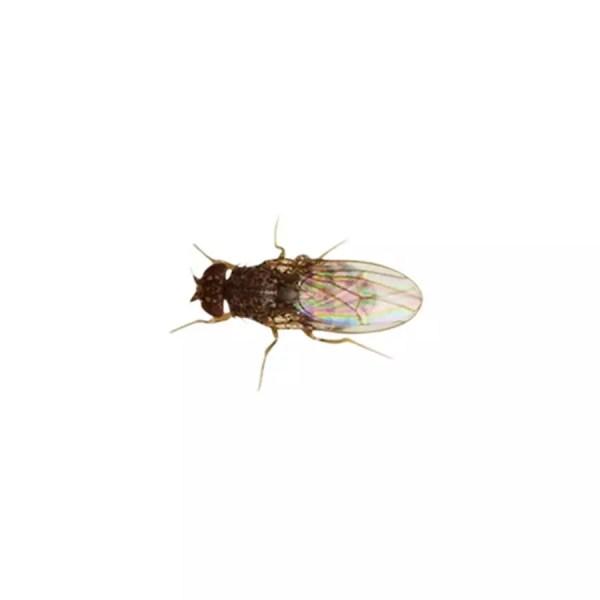 Fruit Flies (Drosophila)