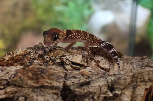Australian Barking Gecko for sale Nephrurus milii
