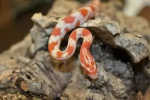 High White Creamsicle Corn Snake for sale