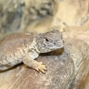 North African Uromastyx for sale - Uromastyx acanthinura nigriventris