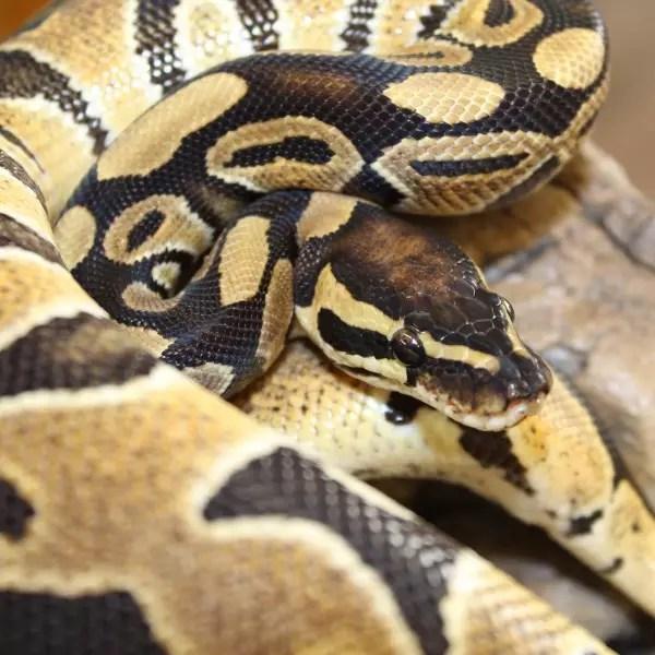 Ball Python for sale - python regius