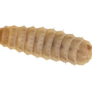 Calci Worms - Large - Subscription