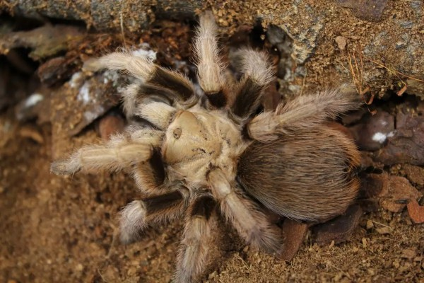 Desert Blonde - Aphonopelma chacoldes