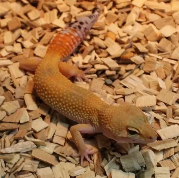High Yellow Leopard Gecko - Eublepharis macularius