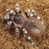 Giant White Knee - Juvenile - Acanthoscurria geniculata
