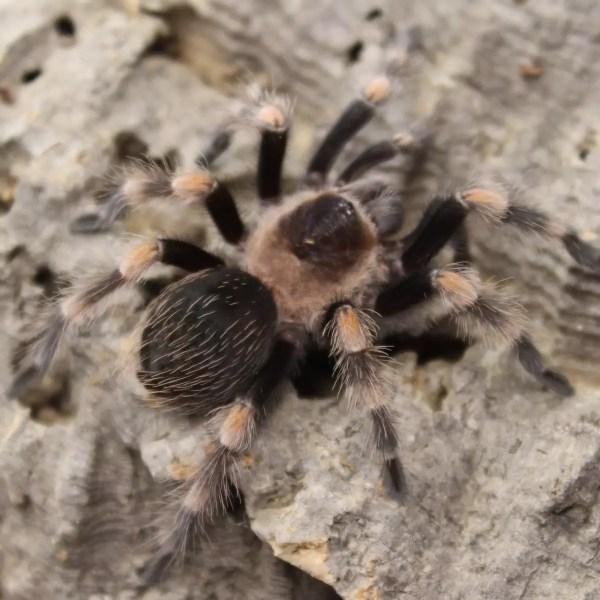 Mexican Red Knee - Juvenile – Brachypelma Smithi
