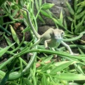 Yemen Chameleon Hatchling - Chameleo calyptratus