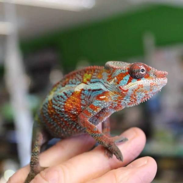 Hector the Panther Chameleon