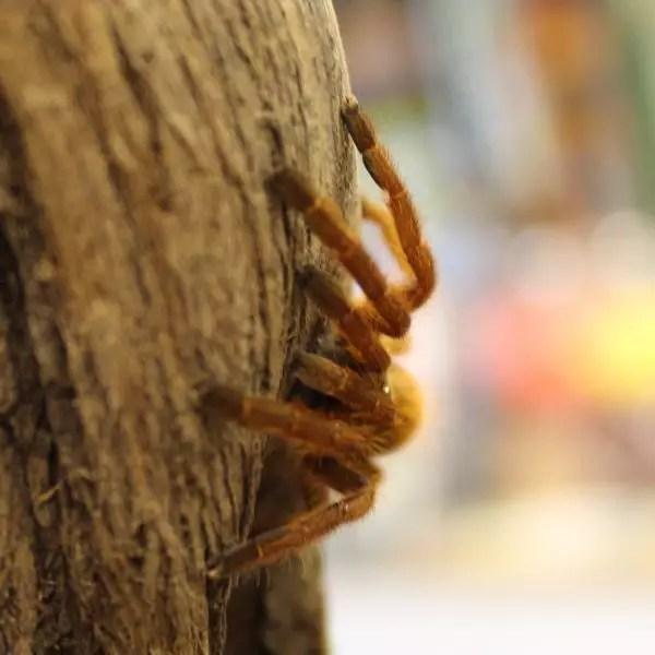 Orange bitey thing, Pterinochilus murinus for sale