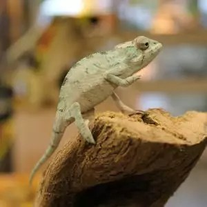 baby panther chameleon for sale