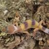 leopard-gecko-hatchling-2