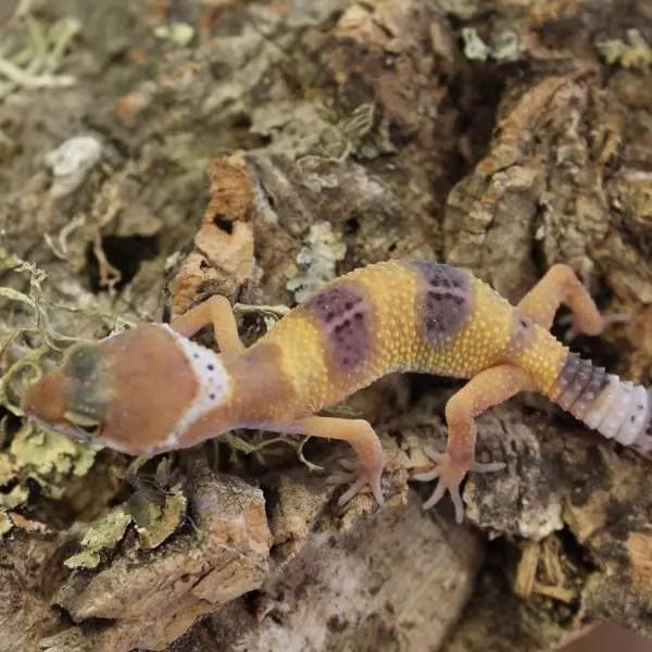 Leopard Gecko Hatchlings - Eublepharis Macularius ...Leopard Gecko Hatchling Care