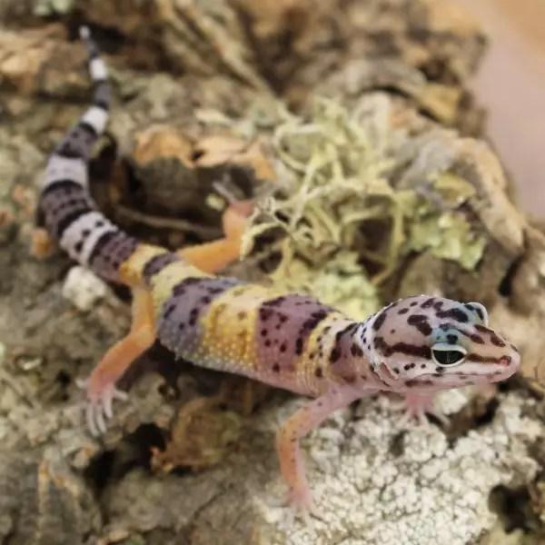 leopard-gecko-hatchling-3
