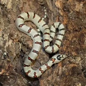thayers-king-snake